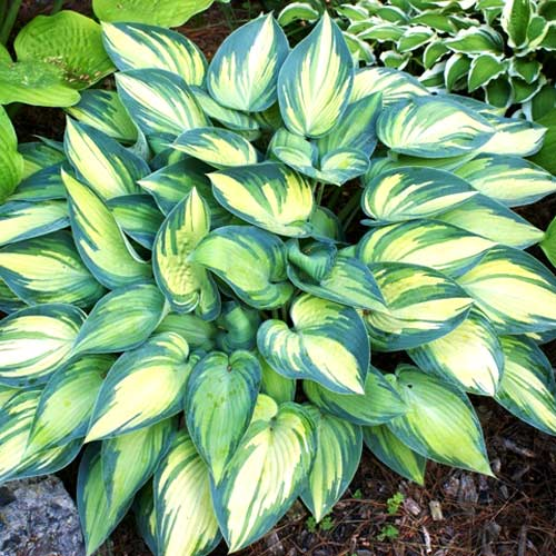 hosta-funkia-june.jpg