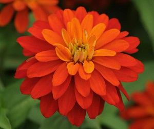 Zinnia_Double_Zahara_Fire_Bloom_9237Optimized.jpg