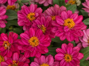 Zinnia_Profusion-Double_Cherry-A1.jpg